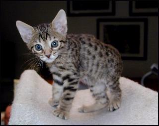 Bengal Kittens With Rosettes And Wild Type From Foothill