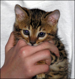 Rosetted Brown Spotted Bengal Male with a beautiful coat, great rich color, glitter and beautiful type!