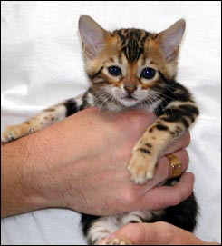 Cute tri colored marble Bengal female with lots of spirit at 4 weeks old!