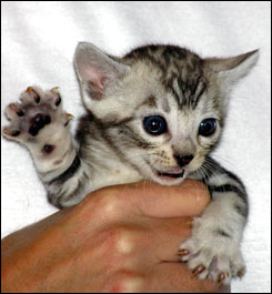 Bengal Kittens From Foothill Felines Well Known Ca