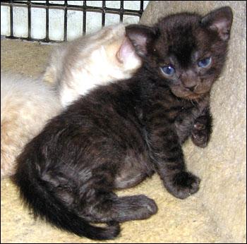 Savannah Kittens - About Spots Savannah Cats and Bengals