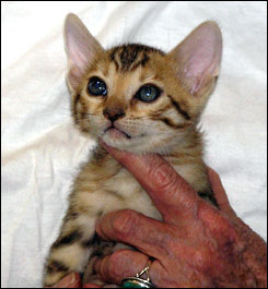Cute rosetted Bengal female with lots of spunk and beautiful markings at 6 weeks old!