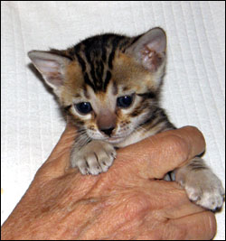 Brown Marbled Bengal Female Kitten at 4 weeks old - available and for sale!