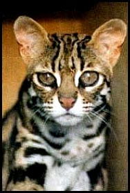 Asian bengal leopard cat