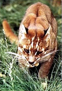 The Asian Golden Cat is reclusive and rare