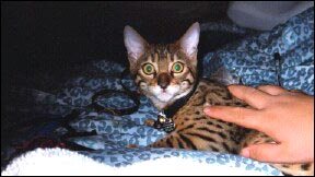 Foothill Felines Asia, a gorgeous, top quality leopard spotted Bengal male, at 6 months old!