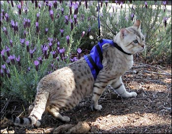 Bengal Adult Male Modeling Blue Cat Walking Jacket Specialty Harness for Leash Training and Walking Your Kitty!