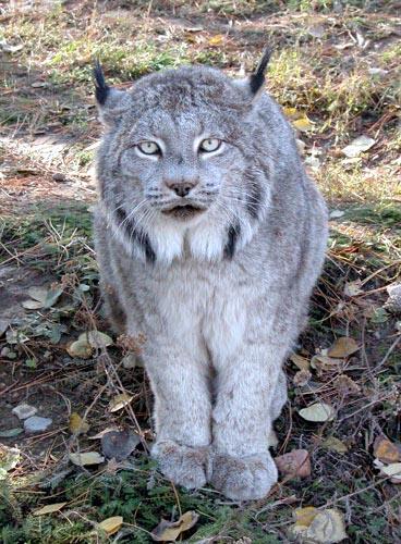 Worksheet. The Lynx in Snow Rare Beautiful Big Wild Cat Photograph