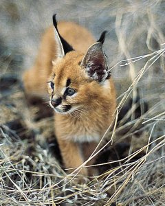 indian animals of wild cat baby caracal youtube