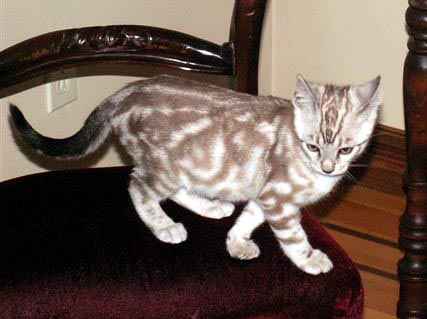 Seal Mink marbled Bengal Kitten owned by Lesley