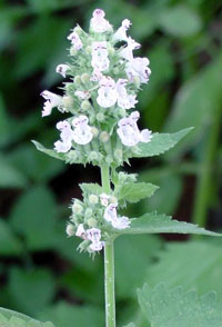 Catnip is a wonderful herb with medicinal properties for human and feline health.