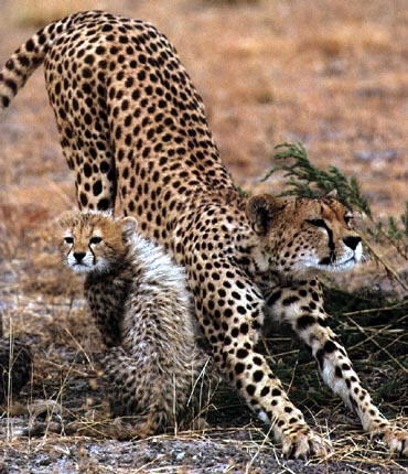 an introduction to cheetahs the fastest of felines An introduction to the cheetahs of madikwe safari lodge an introduction to the cheetah, africa they are strong enough to fight off the larger cats and will.