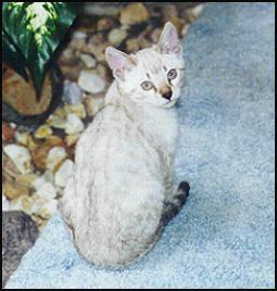 Top show quality Seal lynx point spotted snow Bengal female, out of Gogees Marshamelo of Foothill Felines.