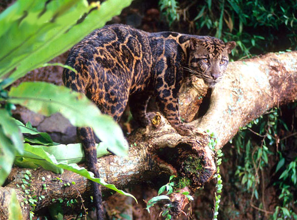The Bornean Clouded Leopard is considered a new, separate species and one of most unusual and beautiful of the wild cats.