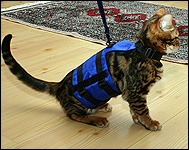 Espen's marble Bengal in her cat walking jacket, a unique soft sided security harness especially for cats and kittens of all sizes!