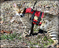 Grace in her cat walking jacket, a unique soft sided security harness especially for cats and kittens of all sizes!