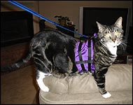 Samson in his cat walking jacket, a unique soft sided security harness especially for cats and kittens of all sizes!