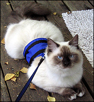 Sir Richard in his blue cat walking jacket, a unique soft sided security harness especially for cats and kittens of all sizes!