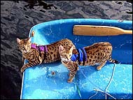 Aslan and Loki are two F3 Savannah kittens from Foothill Felines who love their cat walking jackets and going boating!