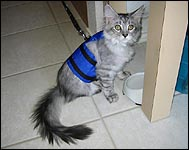 Susi in her cat walking jacket, a unique soft sided security harness especially for cats and kittens of all sizes!
