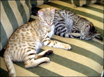 Foothill Felines Draco and Foothill Felines Max, adorable Savannah kittens from Sandy Spots and Major Mews, are wonderful and loving pets!