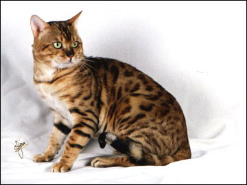 Spothaven Mighty Ewan of Foothill Felines, an SBT breeding Bengal male with an outstanding pedigree.