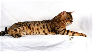 Spothaven Mighty Ewan of Foothill Felines, at 1 1/2 years old, a gorgeous Bengal male stud for breeding.