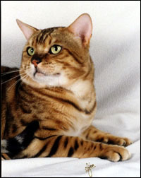 Handsome, glittered, rosetted Ewan, a male Bengal of great beauty with unique breeding lines!