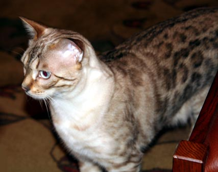 Bengal Cats and Snow Bengals: The History, Development and