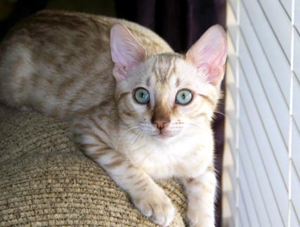 Seal Mink spotted Bengal Kitten from Foothill Felines owned by Erika