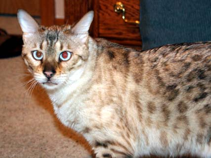 Seal Lynxpoint spotted Bengal Kitten from Foothill Felines owned by Jeanne