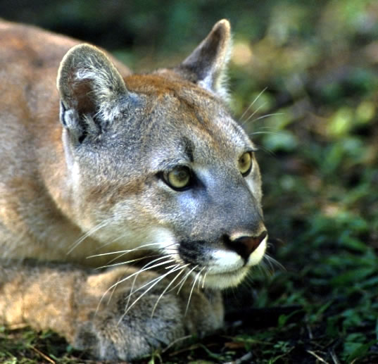 The Endangered Florida Panther, Beautiful, Big, Wild Cat Picture ...