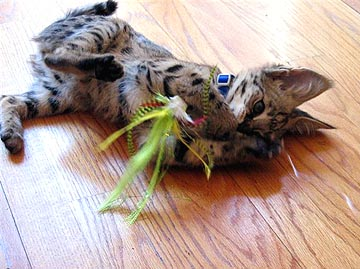 Real Cats including African Servals and Savannahs LOVE Real Fishing Fly Toys such as Tinker Mackerals, Baitfish, Bass Flies, etc.!