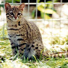 The Geoffreys Cat comes in many color variations