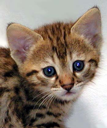 Foothill Felines Savannah kitten