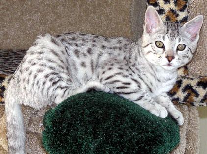 Bengal cat heart disease