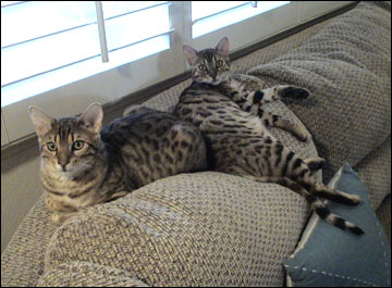 Foothill Felines Zihua and Foothill Felines Tanejo, adorable leopard spotted SBT Bengal brothers and  pair of delightful pets!