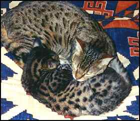 Ian's Two Bengal Cats!