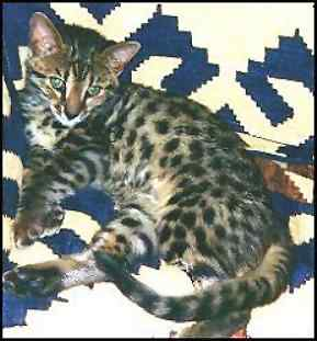 Gorgeous Bengal Cat!