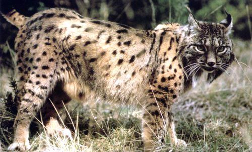 an overview of the characteristics of lynx a feline species The european continent is home to three of the existing 36 cat species: comparison to other cats characteristics of the eurasian lynx are black tufts of hair on.