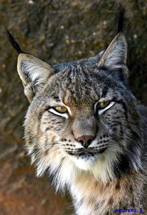 The Iberian Lynx, Spanish Lynx, Lynx pardinus, with tufted ears