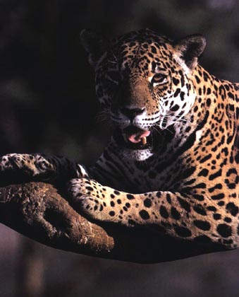 The Jaguar, Beautiful, Big, Wild Cat Photograph from HDW Enterprises