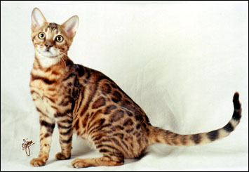 Mama Mia has a very wild appearance, with multi-shaded rosetted spots like the Asian leopard cat, rare in an SBT domestic Bengal cat!