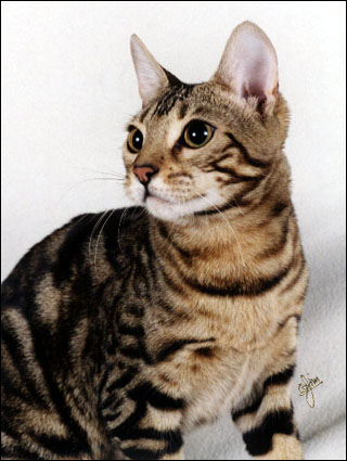 Bengal Cat Profile Foothill Felines Manzanita A Lovely