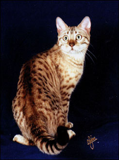 Beautiful spotted SBT Bengal kitten Milliemelo at 8 months old!