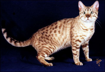 Millie is a beautiful snow Bengal female breeder kitten!