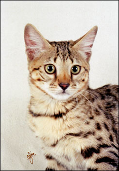Beautiful Smarty Spots, brown spotted Savannah female kitten with the African Serval ancestry and type at 12 weeks old!