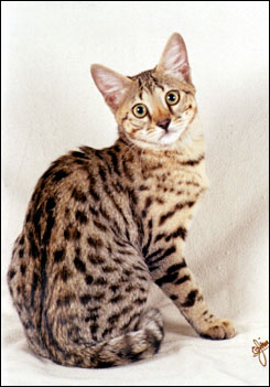 Savannah Cats From Foothill Felines Black Spotted Cats