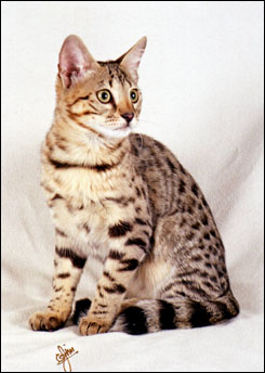 Smarty Spots is a beautiful domestic Savannah female - Savannahs are beautiful, loving spotted cats with the African serval for their wild ancestor!!