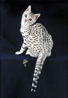 Beautiful Spooky Spots, silver spotted Savannah female kitten with the African Serval ancestry and type at 8 weeks old!
